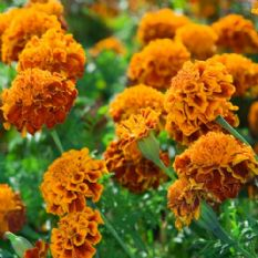 Marigold Brocade Mix -  French type